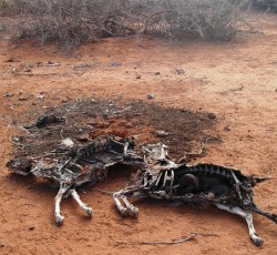 Thousands of animals have perished because of drought in Somalia. Credit: IRIN/Mohamed Gaarane