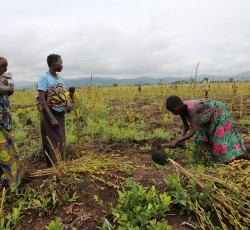 30 Jan 2013: Women harvest sesame in Popocabaka, Bandundu Province. The project has been funded by the Food Security Pooled Fund. Poor harvest and chronic poverty are among the causes of food insecurity in Western Congo. Malnutrition rate in Bandundu Province has increased to 14,8%. Source: OCHA/Gemma Cortes