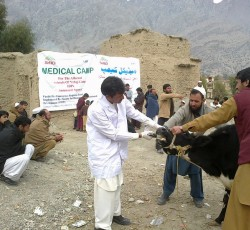 SHID provides vaccination for livestock in Mohmand Agency, Federally Administered Tribal Area (FATA). Credit: SHID/ Iftikhar Khan